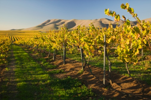 Trellis「Vineyard in Santa Maria, California」:スマホ壁紙(12)