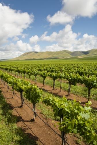 Trellis「Vineyard in Santa Maria, California」:スマホ壁紙(17)