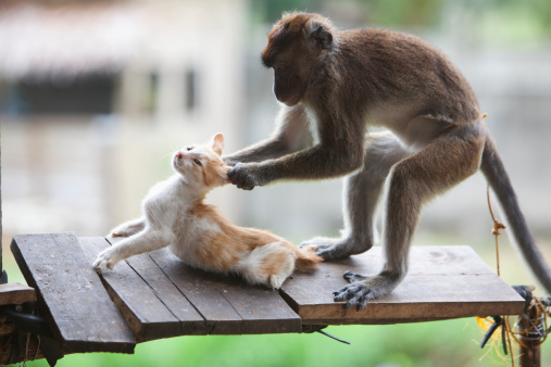 子猫「a captive monkey pulls a kitten's ears at a farmer's property near bias city」:スマホ壁紙(4)