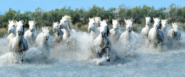 Horse「White Camargue horses running through water (Digital Composite)」:スマホ壁紙(1)
