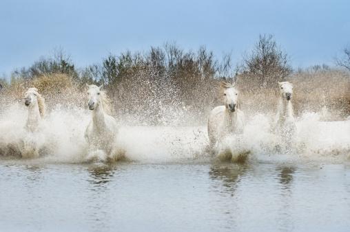 Shallow「White Camargue Horses (Equus caballus) running through water,  Camargue, France」:スマホ壁紙(4)