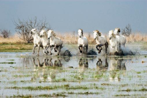 Horse「White Camargue Horses (Equus caballus) running through water,  Camargue, France」:スマホ壁紙(3)