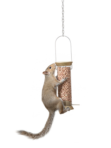 リス「Squirrel climbing up bird feeder for peanuts」:スマホ壁紙(5)