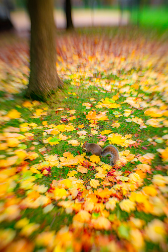 Squirrel「A squirrel climbs up the fence, which is surrounded by myriads of autumn color fallen leaves at Central Park New York NY USA on Nov. 17 2018.」:スマホ壁紙(5)