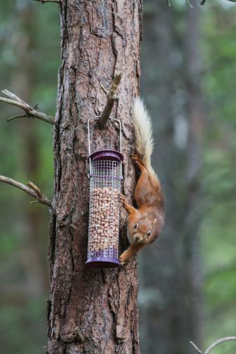 Bird Seed「Squirrel Climbing On A Tree Trunk To Reach The Bird Feed」:スマホ壁紙(15)
