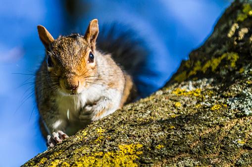 Gray Squirrel「Squirrel climbing down a tree.」:スマホ壁紙(6)