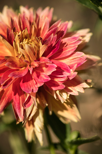 flower「Dahlia 'Punkin Spice' Flower Close-up」:スマホ壁紙(18)