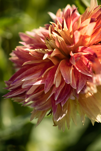 flower「Dahlia 'Punkin Spice' Flower Close-up」:スマホ壁紙(13)