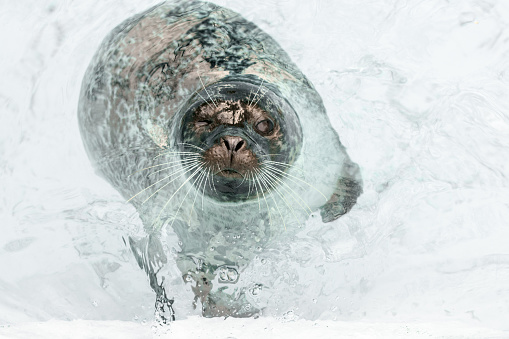 Animal Whisker「Curious seal floating in shallow water around iceberg」:スマホ壁紙(7)