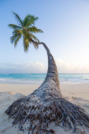 Barbados「Palm tree on worthing beach, Barbados, Caribbean」:スマホ壁紙(17)