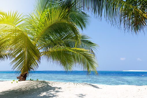 Indian Ocean「Palm tree on a tropical beach, Maldives」:スマホ壁紙(18)