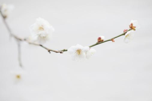 梅の花「Brunch of plum tree in bloom」:スマホ壁紙(8)