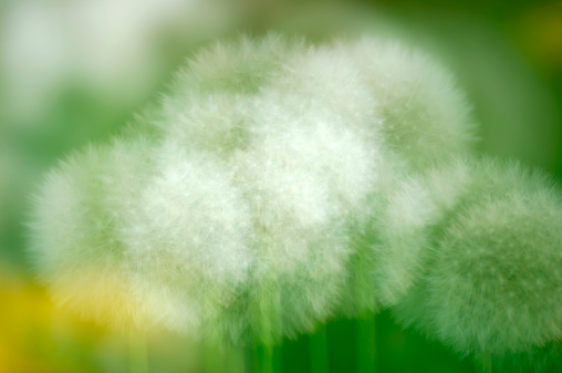 Multiple Exposure「Dandelion, close-up」:スマホ壁紙(6)