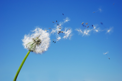 タンポポの綿毛「たんぽぽクロック衝撃シードと青い空を背景に」:スマホ壁紙(19)