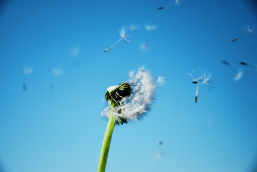 Dandelion「Dandelion Clock Dispersing Seed With Clean Blue Sky In Background」:スマホ壁紙(9)