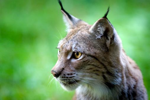 Animal Whisker「Lynx」:スマホ壁紙(7)