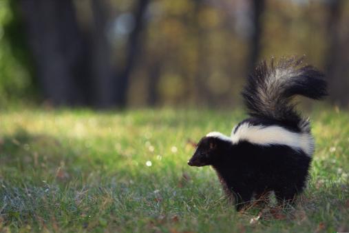 Walking「Striped skunk in grass」:スマホ壁紙(11)