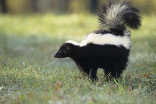 Spraying「Striped skunk (Mephitis mephitis) spraying, USA」:スマホ壁紙(6)
