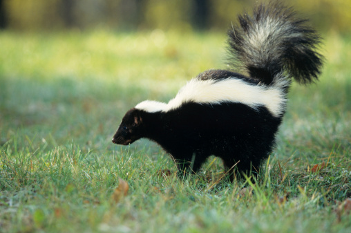 Spraying「Striped skunk (Mephitis mephitis) spraying, USA」:スマホ壁紙(3)