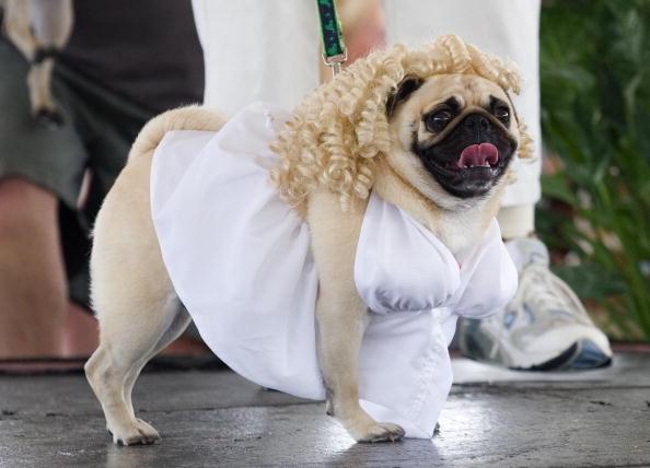 "Animal「Dogs Dress Up At Annual ""Pug Parade""」:写真・画像(12)[壁紙.com]"