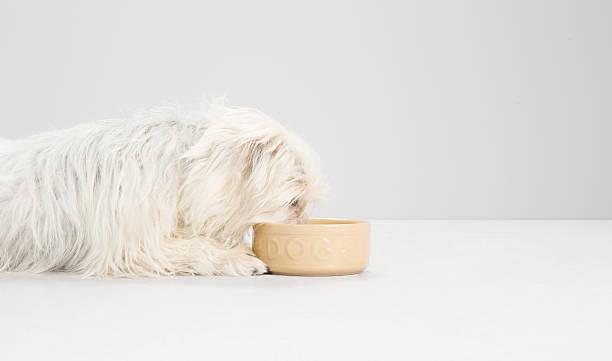 west highland white terrier, mixed breed, studio:スマホ壁紙(壁紙.com)