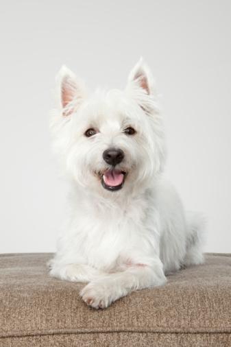 Three Quarter Length「West Highland White Terrier laying down」:スマホ壁紙(16)