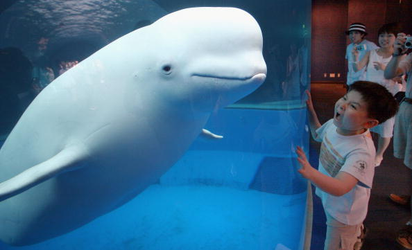 Yokohama「Beluga White Whale At Hakkeijima Sea Paradise Aquarium」:写真・画像(2)[壁紙.com]