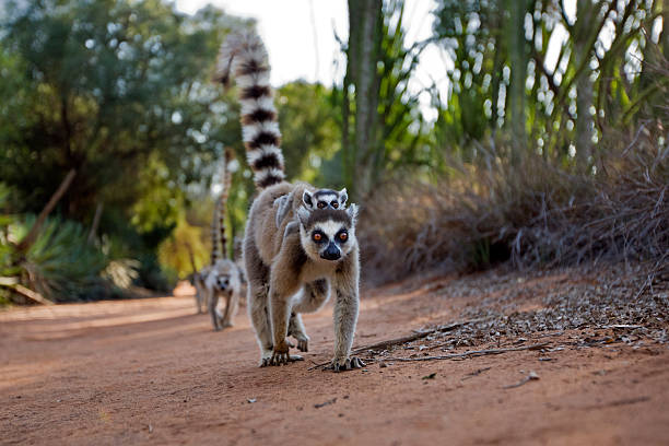 Ring-tailed Lemur female carrying baby on her back walking. Wide angle perspective.:スマホ壁紙(壁紙.com)