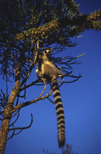 Omnivorous「Ring-tailed lemur climbing tree」:スマホ壁紙(17)