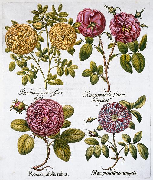 flower「Roses 1613」:写真・画像(1)[壁紙.com]