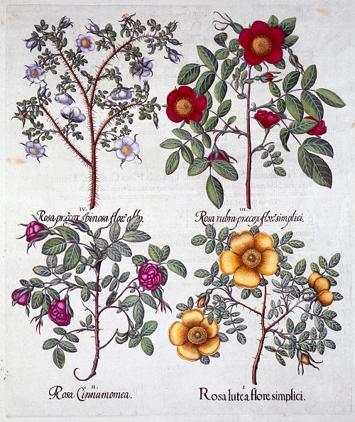 紫「Roses 1613」:写真・画像(0)[壁紙.com]
