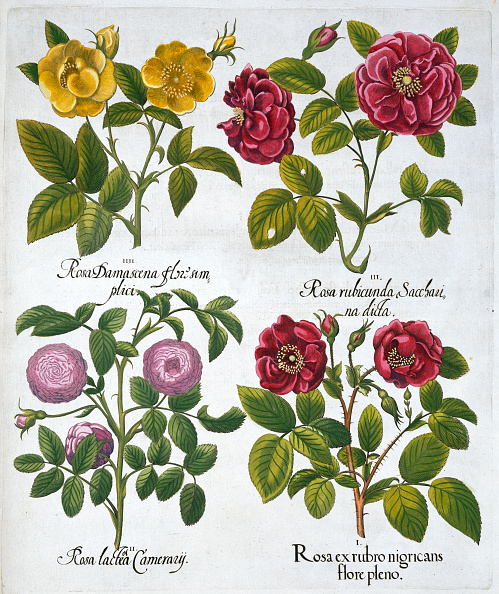 花「Roses 1613」:写真・画像(16)[壁紙.com]