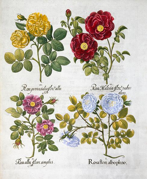 Rose - Flower「Roses 1613」:写真・画像(15)[壁紙.com]