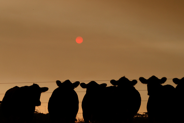 Animal「Evacuations Begin Following East Gippsland Bushfires」:写真・画像(18)[壁紙.com]