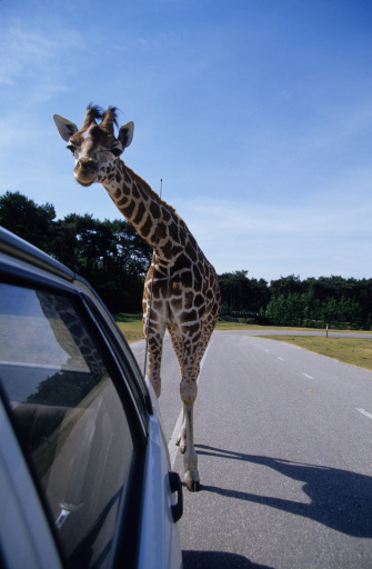 Giraffe「Giraffe, Hilvarenbeek, Safari-Park, Noord-Brabant, Netherlands」:スマホ壁紙(6)