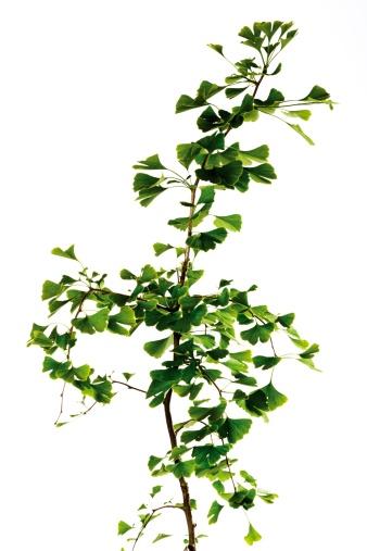 植物「Ginkgo tree, close-up」:スマホ壁紙(19)