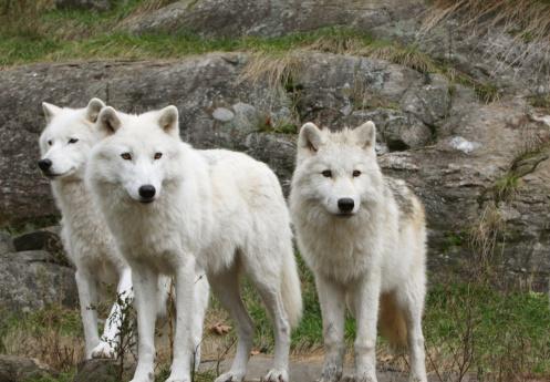 岩場を歩く狼