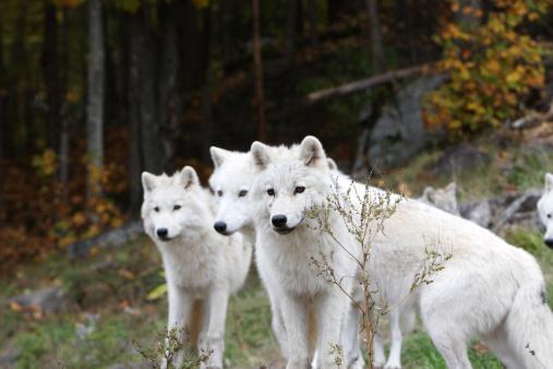 Wolf「北極オオカミ 3」:スマホ壁紙(14)
