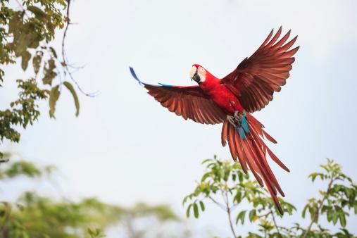 Parrot「Brazil, Mato Grosso, Mato Grosso do Sul, Bonito, Buraco of Araras, flying scarlet macaw」:スマホ壁紙(18)
