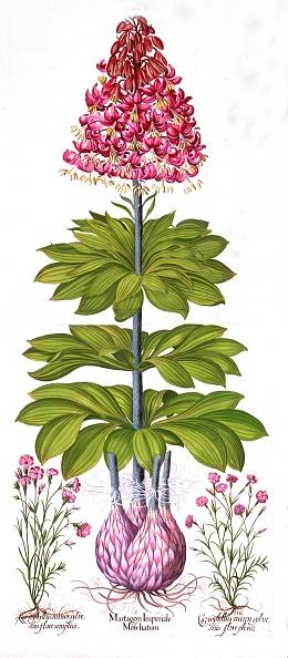 カーネーション「Turk'S Cap Lily And Dianthus」:写真・画像(8)[壁紙.com]