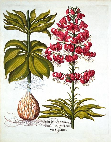 Basil「Turk'S Cap Lily」:写真・画像(13)[壁紙.com]