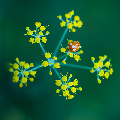 セレクティブフォーカス「MARIQUITA Coccinellidae, Redes Natural Park, Caso Council, Asturias, Spain, Europe」:スマホ壁紙(12)