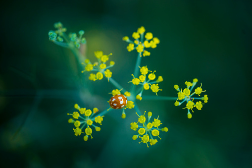セレクティブフォーカス「MARIQUITA Coccinellidae, Redes Natural Park, Caso Council, Asturias, Spain, Europe」:スマホ壁紙(13)