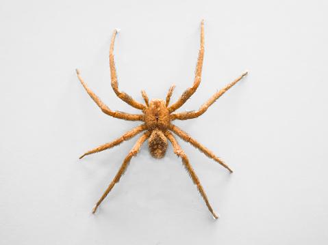 大昔の「Banana spider」:スマホ壁紙(12)