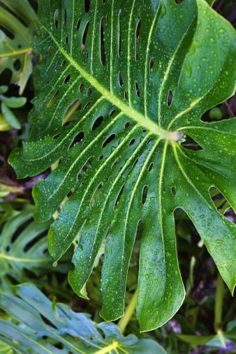 Frond「Tropical leaf」:スマホ壁紙(1)