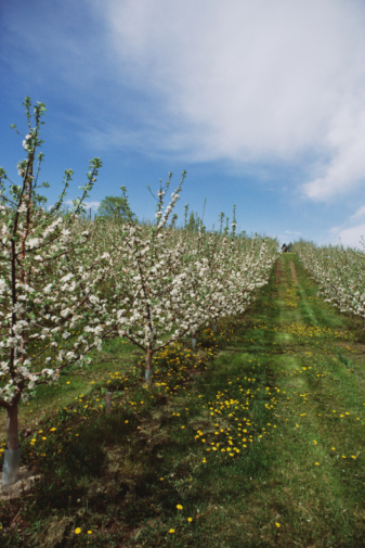 Grove「Rows of trees in cherry grove, Canada」:スマホ壁紙(16)