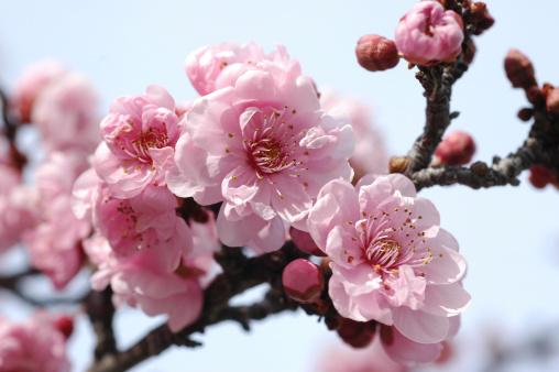 梅の花「ダブルピンクの梅、Prunus cerasifera」:スマホ壁紙(17)