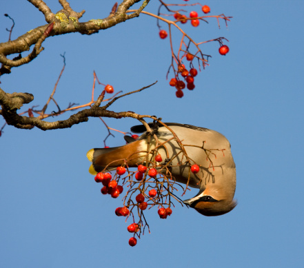 Rowanberry「Waxwing eating Rowan Berries」:スマホ壁紙(3)