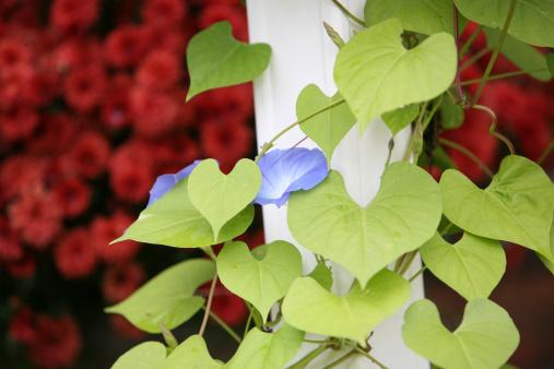 朝顔「Flowers」:スマホ壁紙(19)