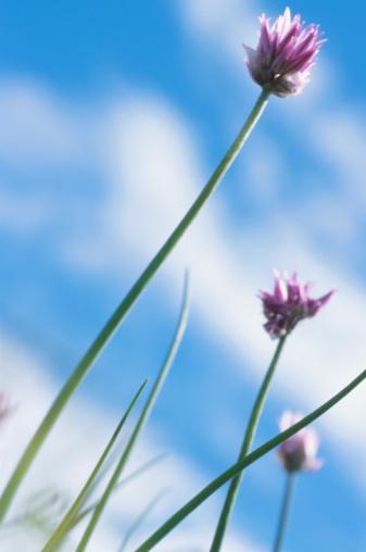 コスモス「Flowers」:スマホ壁紙(17)